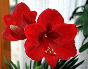 Домашние цветы аллегены